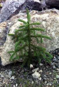 Picea_glauca_sapling_Kluane_NP
